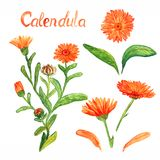Calendula stem with flowers and leaves, separate flowers, leaves and petals, isolated on white background hand painted watercolor. Illustration with inscription royalty free stock photos