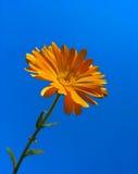 Calendula tegen blauwe hemelachtergrond Stock Afbeeldingen