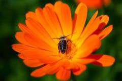 Calendula und Biene Stockbild