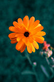 Calendula,unusual colors Royalty Free Stock Image