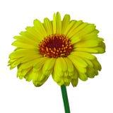 Calendula van het bloem gele die karmijn, op een witte achtergrond wordt geïsoleerd Close-up stock fotografie