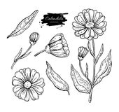 Calendula vector drawing. Isolated medical flower and leaves. Herbal engraved style illustration. Detailed botanical sketch for tea, organic cosmetic, medicine stock illustration