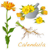 Calendula vector illustration Stock Photo