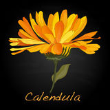 Calendula vector illustration Royalty Free Stock Photo