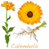 Calendula vector illustration Stock Photography