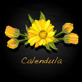 Calendula vector illustration Stock Images