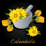 Calendula vector illustration Royalty Free Stock Images