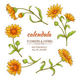 Calendula vector set. Calendula flowers vector set on white background Royalty Free Stock Photography