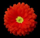 Calendula vermelho da flor o fundo isolado preto com trajeto de grampeamento Fotografia de Stock Royalty Free