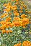 Calendula w ogródzie Zdjęcie Royalty Free
