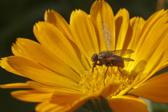 Calendula with water drops and a fly Stock Images