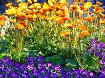 Calendula yellow flowers closeup. Royalty Free Stock Image