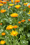 Calendula. Yellow calendula flowers in the garden Stock Photography