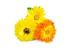 Calendula yellow and orange Stock Photos