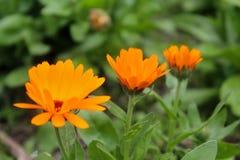 calendula zamkniętego dzień kwiatu pogodny up Obraz Stock