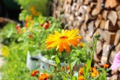 calendula zamkniętego dzień kwiatu pogodny up Obrazy Royalty Free