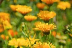 Calendulabloem in de zomer stock afbeeldingen