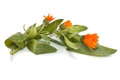 Calendulabloemen op een achtergrond Royalty-vrije Stock Foto's