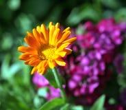 Calendulablume auf unscharfem Hintergrund Stockbilder