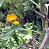 Calendulablume auf unscharfem Hintergrund Lizenzfreie Stockbilder