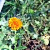 Calendulablume auf unscharfem Hintergrund Stockfoto