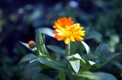 Calendulablume auf unscharfem Hintergrund Stockfotos