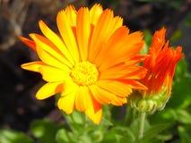 Calendulablume in der Blüte Lizenzfreies Stockfoto
