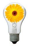 Calendulablume in der Lampe Stockfoto