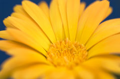 Calendulablume gegen dunkelblauen Hintergrund Stockfotos