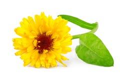 Calendulablume oder Ringelblumenblume Calendula officinalis lokalisiert auf Weiß Stockfotografie