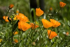 Calendulae. In the grass of sicilian country. Seasonal Flower Stock Photos