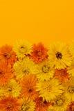 Calendulaen blommar bakgrund Royaltyfria Foton