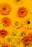 Calendulaen blommar på orange bakgrund Royaltyfri Foto