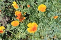 calendulaen blommar yellow Arkivfoto