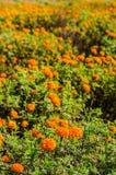 Calendulaen eller ringblomman blommar i trädgård Arkivfoton