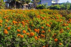 Calendulaen eller ringblomman blommar i trädgård Royaltyfri Fotografi