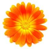 calendulaofficinalis Royaltyfria Foton