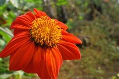 Calendulaofficinalis, de pottengoudsbloem, gemeenschappelijke goudsbloem of Schotse goudsbloem, is een installatie in de soort Ca royalty-vrije stock fotografie