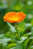 Calendulaofficinalis i trädgård Arkivfoto