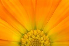 Calendular Sonne Lizenzfreie Stockfotografie