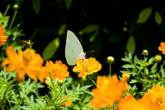 calendularingblommaofficinalis Royaltyfri Foto
