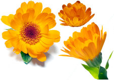Calendulas Royalty Free Stock Image
