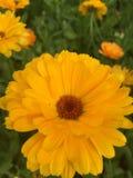 Calendulas jaunes Photo libre de droits
