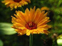 Bright Beautiful Closeup Calendula Flower with Blurrred Green Background stock photography
