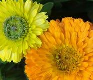 Calendulasinaasappel en geel samen royalty-vrije stock afbeeldingen