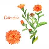 Calendulastammen med blommor och sidor, den separata blomman som isolerades på den vita bakgrundshanden, målade vattenfärgillustr arkivbild
