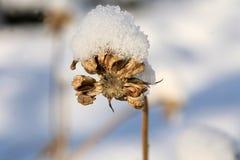 Calendulazaden onder sneeuwhoed Royalty-vrije Stock Afbeeldingen
