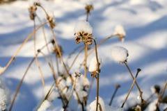 Calendulazaden onder sneeuwhoed Stock Foto