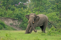 Calentamiento del elefante indio, Bengala Occidental, la India Fotografía de archivo libre de regalías