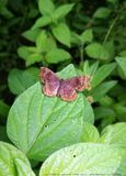Calephelis-wrighti Insekt Lizenzfreie Stockfotos